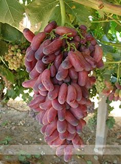 Grape 30 Ambizu 1515 Seeds 100 True Heirloom Manicure Finger Grape Organic Seeds *** Visit the image link more details.