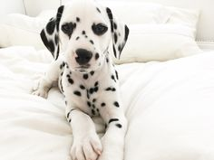 Dalmatian Got Treats Cute Cats And Dogs, Cute Dogs And Puppies, Animals And Pets, Baby Animals, Cute Animals, Doggies, Cute Dogs Breeds, Dog Breeds, Pets