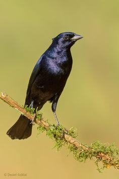 Mirlo. Molothrus bonariensis. Shiny cowbird