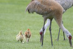 Sandhill Crane Family With Adopted Gosling Jocelyn >> 738 Best Precious Animals Images In 2019 Cute Dogs Whales Animales