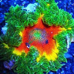 Wowser @reef_temptations! #Polyplab . #coral #reeftank #coralreeftank #reef #reefpack #reef2reef #reefcandy #reefersdaily #reefrEVOLution #coralreef #coraladdict #reefaholiks #reefjunkie #reeflife #instareef  #allmymoneygoestocoral #instareef  #reefpackworldwide #ilovemyreef #rarecorals #reefing #exoticcorals #reefporn #reeferdise #reefers4reefers #coralporn #aquarium #polyplab