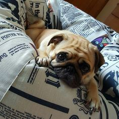 Pug in a newsprint bed!