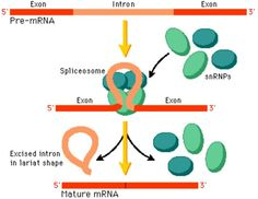 During transcription, RNA will code some sequences of DNA that will not be used to make proteins. These are called introns, which will be spliced (cut out) of the new mRNA sequence. The exons will then be put back together.