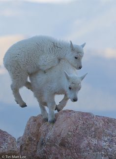 ✯ Piggy back ride, Mountain Goat Kids, Mount Evans ..by Tinmanizer✯