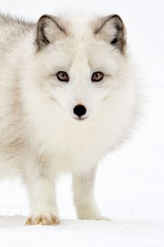 expressions-of-nature: Arctic Fox in Snow by Stephen Oachs