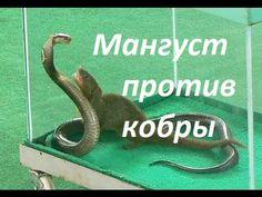 Мангуст против кобры. Шоу со змеями.