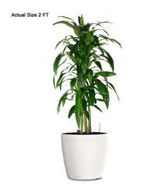 Dracaena Lisa Ornamental Plant Small 2 Feet Web Indoor Plants