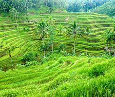 Rice field in Ubud, Indonesia Been there, Donne that, Loved it !!!