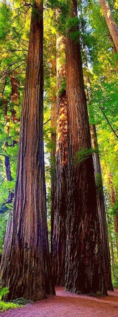 cool Height-defying redwoods define much of the landscape in California. You won'...