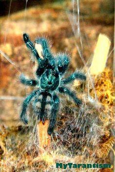 Antilles Pinktoe Tarantula