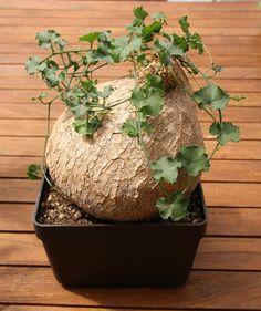 Ibervillea lindheimeri.Caudex.Raphionacme.Euphorbia.Bombax