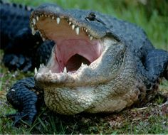 Big Alligator - Photography by Judy Caseley--waiting for my snack