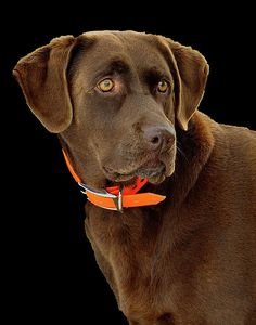 Labrador Retriever Featured Images - Chocolate Lab by William Jobes Cute Puppies, Cute Dogs, Dogs And Puppies, Doggies, Labrador Puppies, Beautiful Dogs, Animals Beautiful, Cute Animals, All Dogs