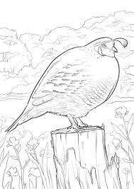 Image Result For Blank Pictures Of Quail For Colouring Images