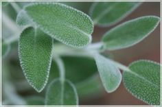 Sage or the plant that saves and heals