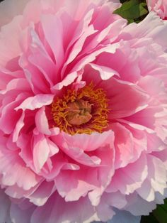 Tree Peonie bloom! by amy butler design, via Flickr