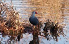 Birdwatching no Algarve: Ria Formosa - Faro - Formosamar