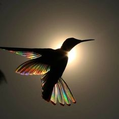 Sunlight passing through the wings of a Black Jacobin Hummingbird forms a prism of rainbows. Hummingbird Wings, Hummingbird Pictures, Nature Animals, Animals And Pets, Cute Animals, Beautiful Birds, Animals Beautiful, Animal Photography, Nature Photography