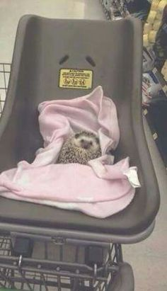 A Hedgehog in a baby carrier....OMG!