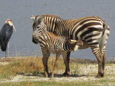 Mother and child zebra at Lake Nakuru.
