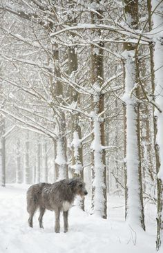 Gorgeous Irish Wolfhound