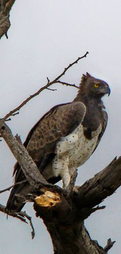Martial eagle (Polemaetus bellicosus) - Here is a large specimen, probably female, showing slight crest and protruding crop. Love Birds, Beautiful Birds, Animals Beautiful, Raptor Bird Of Prey, Birds Of Prey, Rapace Diurne, South African Birds, Mundo Animal, Exotic Birds