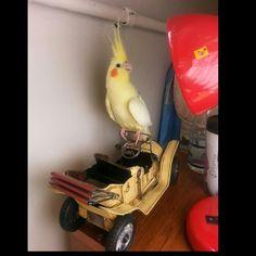My parrot :) pamuk