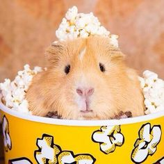 Happy Animals, Cute Funny Animals, Cute Baby Animals, Pet Guinea Pigs, Cute Piggies, Cutest Thing Ever, Mundo Animal, Large Animals, Popcorn