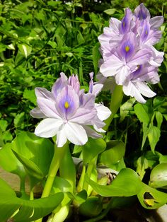 Water Hyacinth | by workmana10