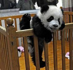 """Here are some pictures of pandas that are """"trapped"""" in a baby enclosure. Their only goal is obviously to escape it. It looks like it didn't work out for them, but you can't blame them for trying. As you can see, they eventually gave up and succumbed to some panda food in their crib."""