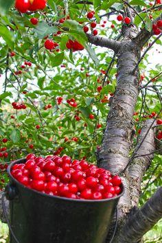 Door County cherries http://www.doorcounty.com/experience/cherries