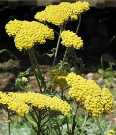 'Moonshine' yarrow  Achillea 'Moonshine' is an adaptable plant that bears pale yellow blooms on silvery-gray foliage. It forms spreading mounds to 2 feet tall. Zones 4-8