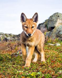 Ethiopian Wolf Pup by Will Burrard-Lucas