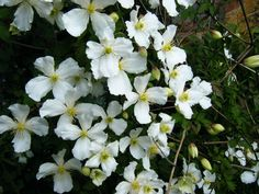 Clematis montana Grandiflora mass shot