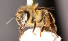 Common pesticide damages honey bee's ability to fly. Months of testing and data acquisition revealed that typical levels of neonicotinoid exposure, which bees could experience when foraging on agricultural crops—but below lethal levels—resulted in substantial damage to the honey bee's ability to fly.