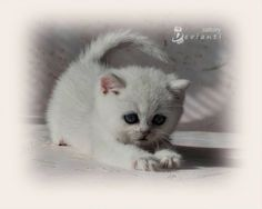 British Shorthair - Femelle Black Silver Shaded - #cat #chat #britishshorthair #animal #arthoria #bordeaux #cute #cuteness #love #arthorialovers #british #britishcat #britisharthoria #catlovers #eyes #silver #britishlovers #beautiful #cattery #chatterie #breeder #breeding #elevage #kitten #baby #bebe #chaton #kitty #babycat