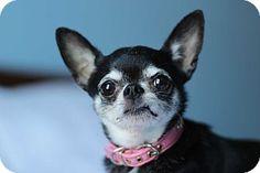 5 / 18 - Romeoville, IL - Chihuahua Mix. Meet Sophie, a dog for adoption. http://www.adoptapet.com/pet/12323957-romeoville-illinois-chihuahua-mix