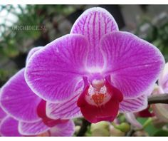 Phalaenopsis PHM 002 Vienna