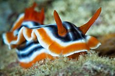 Chromodoris Magnifica nudibranch close up by Luko Gecko, via Flickr