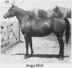 US top ten mare angyl, 1948-1975. dam of bay-abi; bred by the US government.