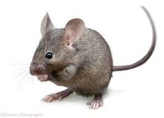 Photograph of House Mouse (Mus musculus). Rights managed white background image. Hamsters, Rodents, Mouse Photos, Mouse Pictures, Animals And Pets, Baby Animals, Cute Animals, Maus Illustration, Illustrations