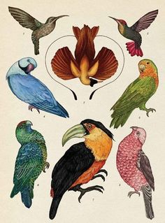 Exotic Birds - Animalium, illustration by Katie Scott Science Illustration, Nature Illustration, Botanical Illustration, Vintage Bird Illustration, Botanical Drawings, Botanical Art, Animal Drawings, Art Drawings, Museum Exhibition