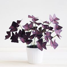 Onnenapila, Oxalis triangularis This past weekend was all about taxes and this paper #oxalistriangularis…