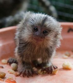 This little character is just over a month old but even adults stand only about 5 1/2 inches tall. The Common Marmoset is distributed throughout the Atlantic Coastal Forest in Northeast Brazil.