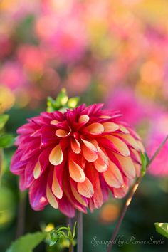 ~~Orb of Color   dahlia by Synapped by Renae Smith~~