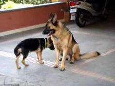 German Shepherd Puppy Wants To Play With Dog | Global Animal