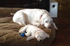 Labrador mom and puppy - Precious