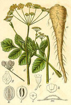 """Pastinak (Pastinaca sativa), Illustration """"Der #Pastinak (Pastinaca sativa), auch die Pastinake, ist eine Pflanzenart aus der Gattung der Pastinaken (Pastinaca) in der Familie der Doldenblütler (Apiaceae). Als Wildform gilt Pastinaca sativa subsp. sativa var. pratensis (Wiesen-Pastinak); die Kulturform Gemüse-Pastinak wird als Pastinaca sativa subsp. sativa var. sativa bezeichnet."""""""