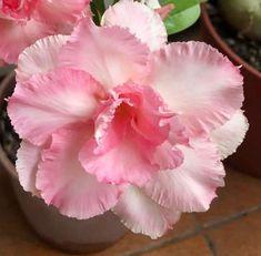 Desert Rose, Blooming Flowers, Pretty Flowers, Roses, Beautiful Flowers, Plants