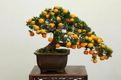 Bonsai Fruit Tree, Potted Fruit Trees, Bonsai Tree Care, Bonsai Tree Types, Indoor Bonsai Tree, Bonsai Orange Tree, Orange Trees, Japanese Bonsai Tree, Succulents